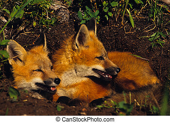 Red fox Pups - a pair of red fox pups outside their den