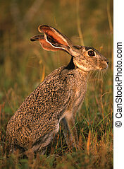 Blacktailed jackrabbit - a blacktailed jackrabbit sitting in...