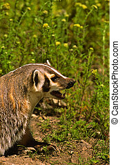 Snarling Badger - a badger snarling a warning