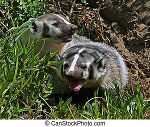 Badgers - Badgers hiding in grass