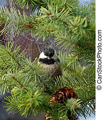 Black-Capped Chickadee perched on top of pine tree.