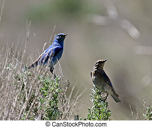Bluebirds - A pair of Bluebirds perched on top of flower...