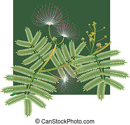 Mimosa silk tree blossoms - A beautiful exotic image of...