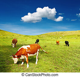 Grazing cows - Beautiful view with grazing cows and blue sky