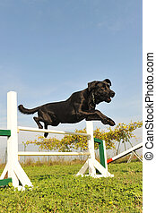 labrador retriever in agility - purebred labrador retriever...