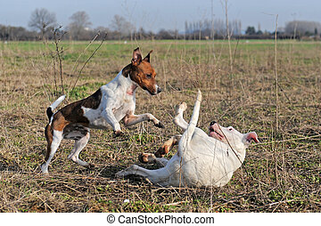 playing dogs - a jack russel terrier and a puppy argentinian...