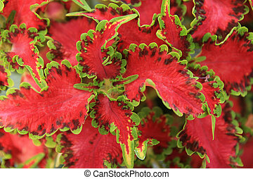 red and green leaves - red and green coleus houseplant...