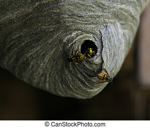 yellow jacket nest - three yellow jackets come out of their...