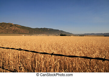 barbed wire and wheat field