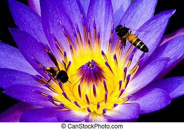 Purple Water Lily with Bees - Purple water lily with bees in...