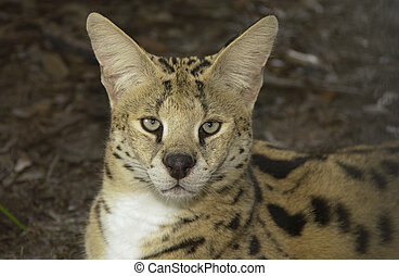 African Serval portrait with leaves in background