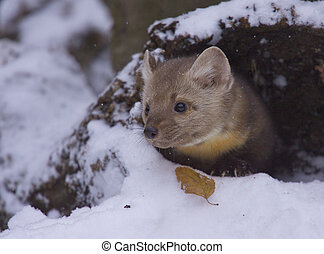 Pine Martin - American Pine Martin in deep snow on winter...