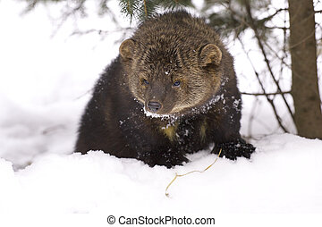 Fisher portrait in deep snow on winter day