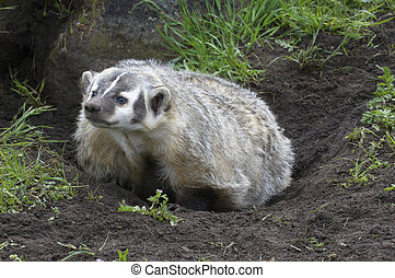 American Badger - Angry American Badger next to burrow with...