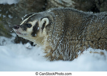 American Badger - Angry American Badger in deep snow on...