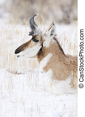 Pronghorn - Male Pronghorn portrait with snow background on...