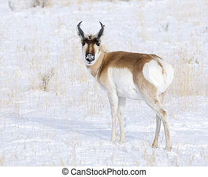 Pronghorn - Male Pronghorn with snow background on winter...