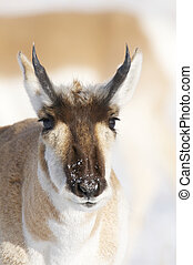 Pronghorn - Male Pronghorn portrait with snow background...
