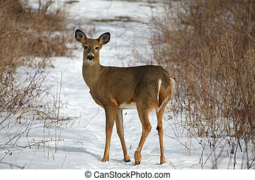 White-tailed Deer Odocoileus virginianus standing on trail