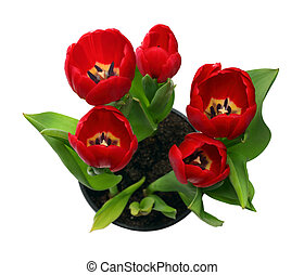 red tulips in pot