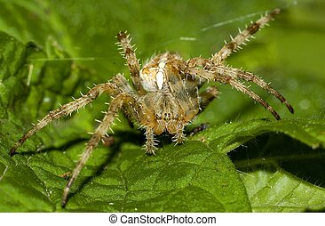 Common garden spider - cross spider on green leaf