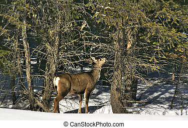 White Tail Deer - White Tail deer eats branches in snow bank