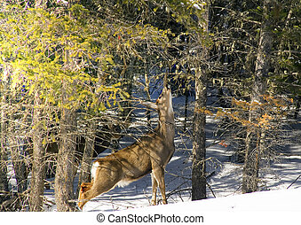 White Tail Deer - White Tail deer eats branches in snow bank...