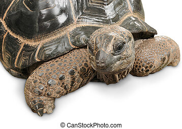 Impressive Giant tortoise on white - Animal portrait of a...
