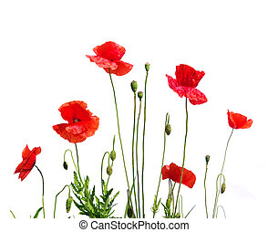 red poppies - beautiful red poppies isolated on white
