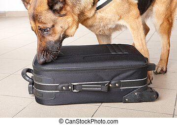 Sniffing dog checking luggage - Airport canine. Dog sniffs...