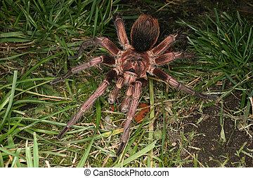 Tarantula (Phormictopus cochleasvorax) - Adult male of...