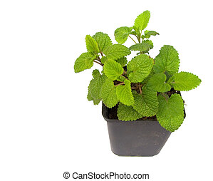 fresh lemon balm iolated on white background - fresh lemon...