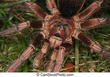tarántula, (Phormictopus, cochleasvorax)