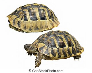 Hermanns Tortoise isolated on a white background