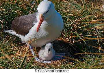 Albatross Mother with Chick - This black browed albatross...