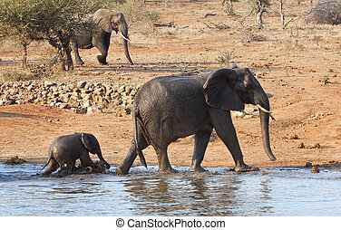 Elephant mother and calve leaving waterhole wet muddy