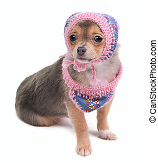 Chihuahua Puppy With Jeans Scarf and Cap Looking At Camera Isolated
