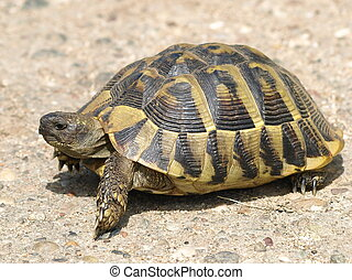 Hermanns Tortoise