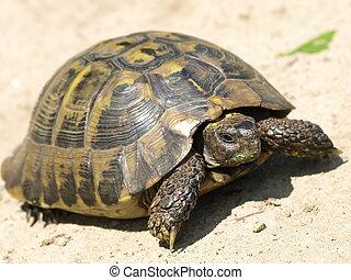 Hermann's, Tortoise
