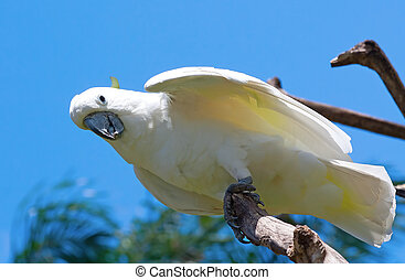 sulphur-crested cockatoo in the park
