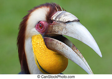 Hornbill - Female Hornbill in captivity at Bali bird aviary...