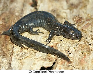 Smallmouth, salamandra, (Ambystoma, texanum)