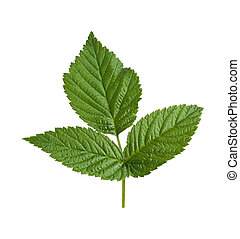 Raspberry Leaf isolated on white - Raspberry Leaf isolated...