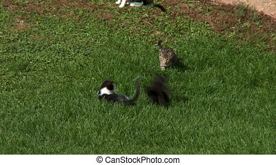 Barnyard Kittens Fight 1 - Kittens play fighting in front of...