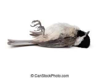 Dead Bird - Dead Carolina Chickadee (Poecile carolinensis)...