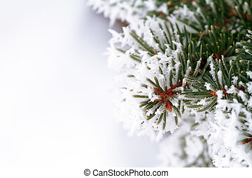 Snow covered pine tree  - Pine tree branches close up
