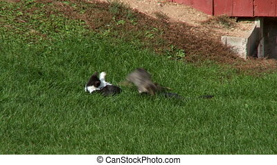 Barnyard Kittens Fight 2 - Kittens play fighting in front of...