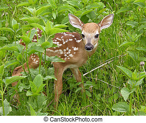 Whitetail Deer Fawn - Whitetail deer fawn standing in tall...