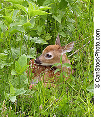 Whitetail Deer Fawn - Whitetail deer fawn resting in tall...