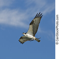 Osprey flying with stick for building nest against blue sky...